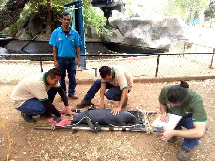 Un manatí es atendido por el personal que del Zoológico y Jardín Botánico Bararida. Foto: Carlos Silva.