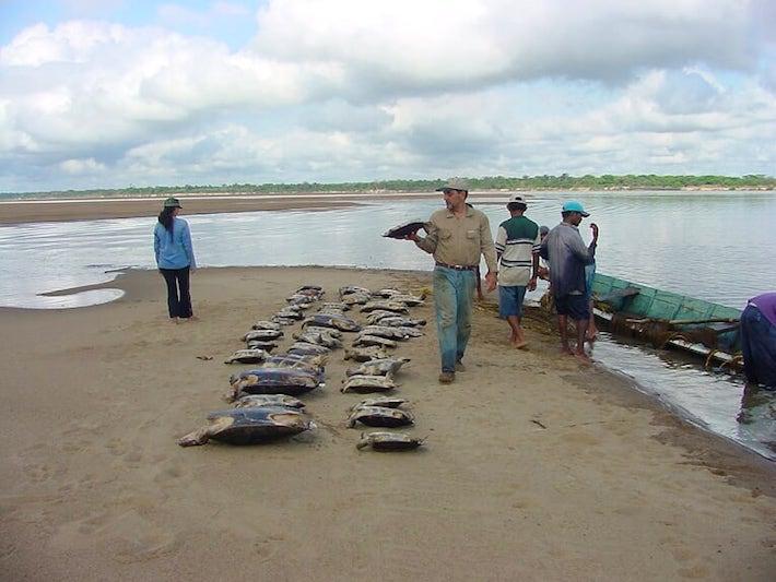 Medición de tortugas en el Refugio de Santa María del Orinoco. Foto: Fudeci.