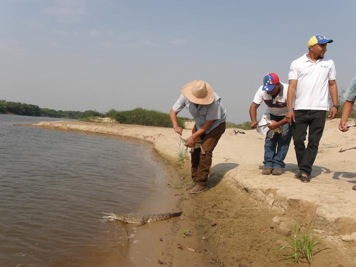 Liberación de caimanes en el Refugio de Fauna Silvestre de Santa María del Orinoco. Foto: Fudeci.