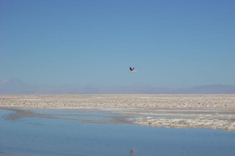 Salar de Atacama. Según análisis realizados por la CORFO, la vegetación del Borde Este del salar de Atacama, sufrió disminuciones significativas de follaje verde, durante el período en el que se cometieron las infracciones. Foto: Michelle Carrere.