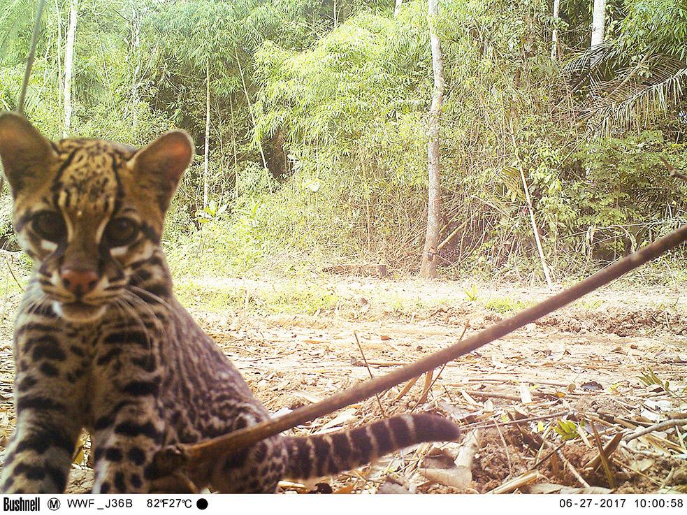 Las poblaciones de mamíferos y otras especies están desapareciendo a un ritmo acelerados. Foto: WWF Perú.