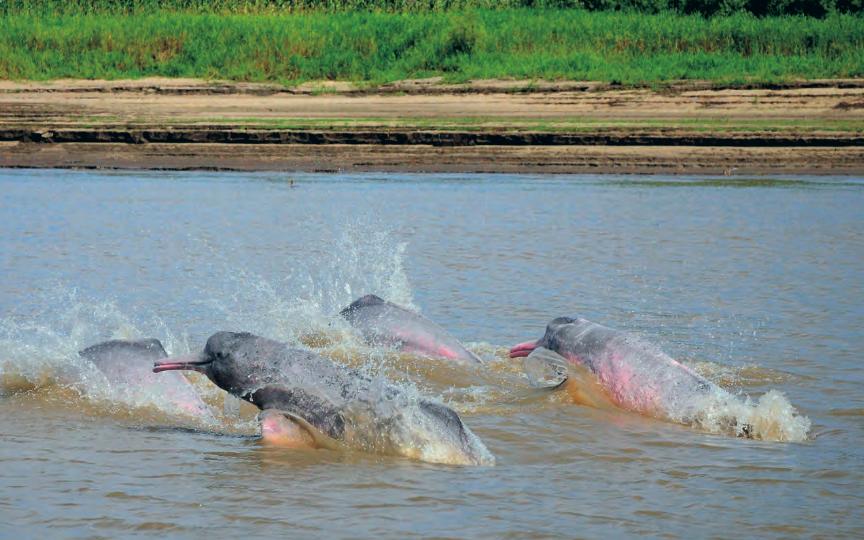 Un grupo de científicos se ha unido para buscar soluciones a los problemas que enfrentan estas especies. Foto: Fundación Omacha.