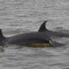 María Camila Rosso dese saber si las poblaciones de delfines en el golfo de Urabá son residentes o solo las usan como zona de paso. Foto: María Camila Rosso.