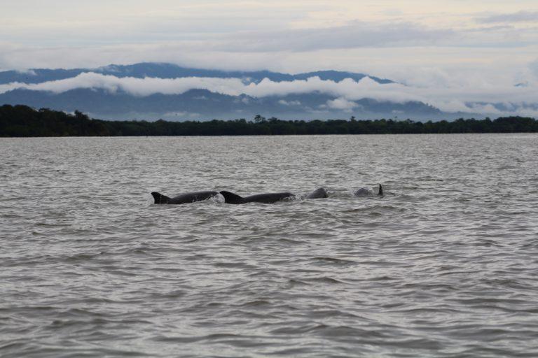 El delfín nariz de botella y el delfín gris fueron los primeros que María Camila Rosso registró en el golfo de Urabá. Foto: María Camila Rosso.