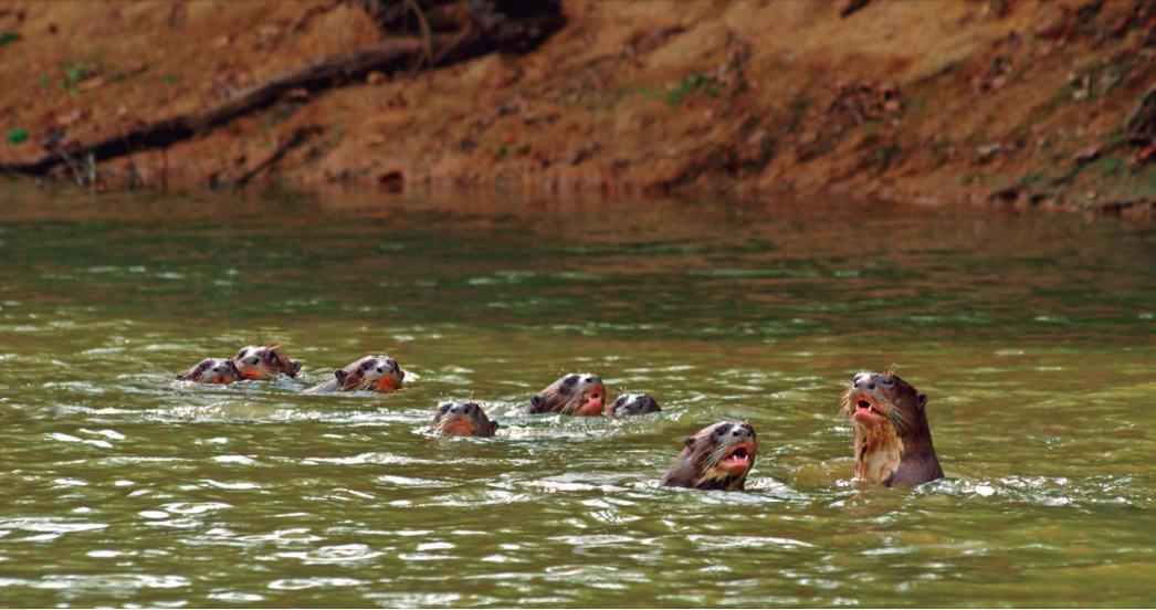 Los mamíferos acuáticos en Sudamérica enfrentan amenzas como la construcción de grandes represas en los ríos. Foto: Fundación Omacha.
