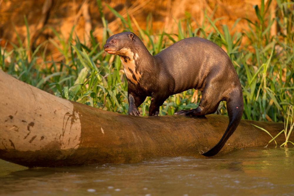 El perrito de agua o nutria gigante es un experto nadador y muy buen buceador. © naturepl.com / Mary McDonald / WWF