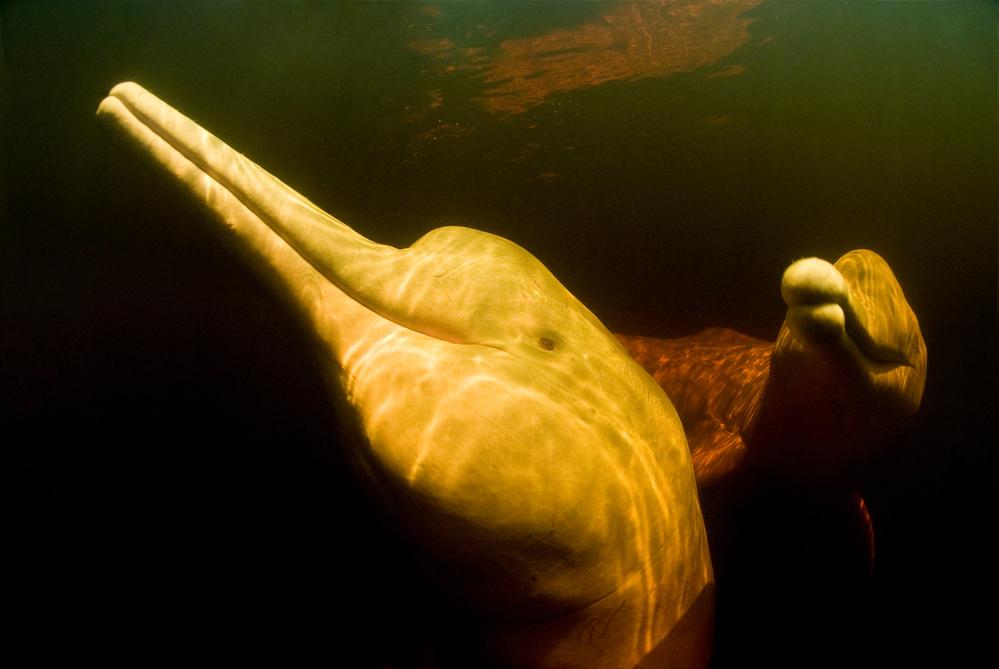 La especie Tonina del Orinoco es el delfín de río más grande del mundo. Foto: © naturepl.com / Mark Carwardine / WWF