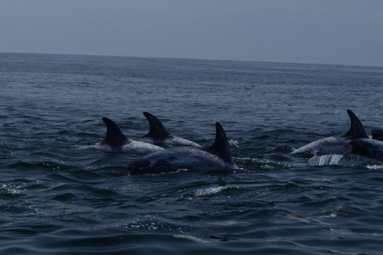 Delfín de Risso (Grampus griseus). Es quizás el que presenta marcas más conspicuas. Van aumentando con la edad. Foto: ONG Panthalassa.