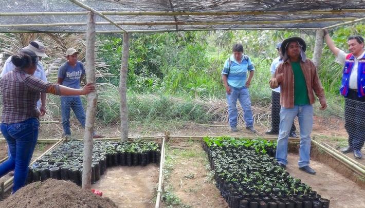 La comunidad de indígenas Leco, en Apolo, trabajando en el vivero con cuyos plantines establecieron 75 hectáreas de sistemas agroforestales. Foto: APMT.