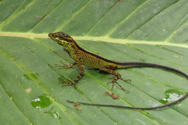 Anolis dracula es una lagartija que duerme en hojas y troncos cerca del suelo, adoptando la coloración es estos para evitar depredadores. Foto: Juan Pablo Reyes-Puig.