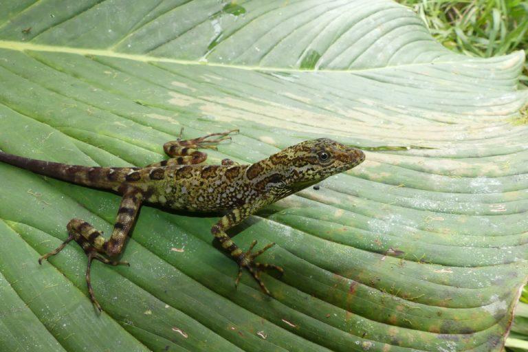 La minería en el lado ecuatoriano y los cultivos de coca amenazan el hábitat de la lagartija (Anolis dracula). Foto: Juan Pablo Reyes-Puig.
