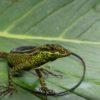 Las lagartijas son excelentes controladores de invertebrados. Foto: Juan Pablo Reyes-Puig.
