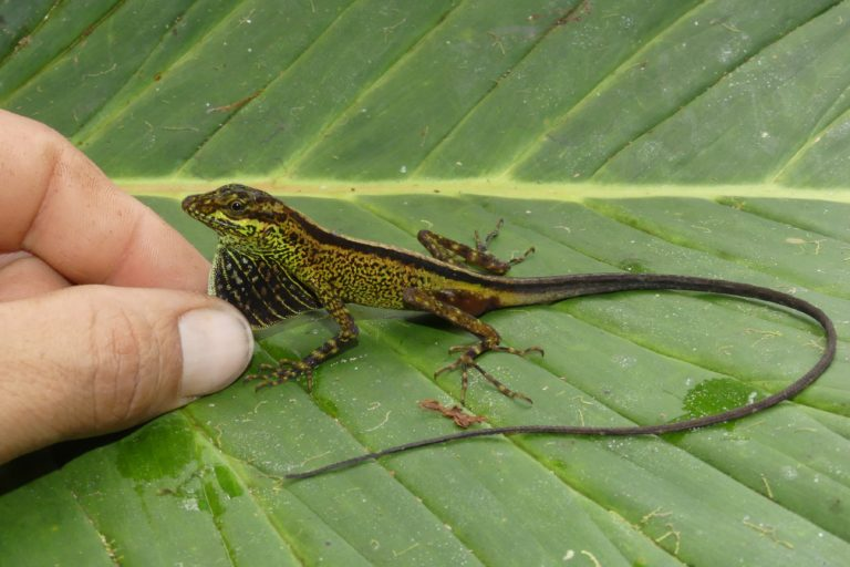 La nueva especie de lagartija suele vivir en el piso de los bosques piemontanos y de neblina. Foto: Juan Pablo Reyes-Puig.