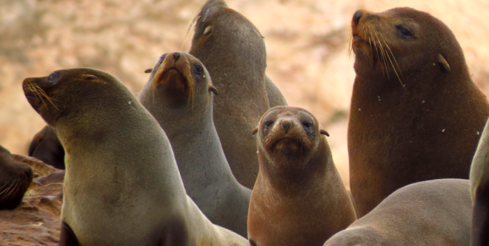 El fenómeno El Niño afecta a las poblaciones de mamíferos marinos. Foto: Programa Punta San Juan.