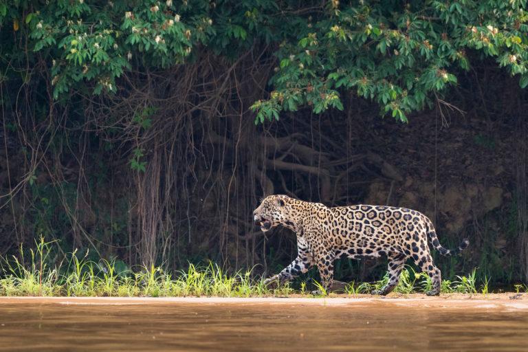 Declaración de Lima tráfico ilegal de vida silvestre El jaguar (Panthera onca) fue nombrado especie emblemática de las Américas por la importancia que tiene en el ecosistema latinoamericano y como símbolo de la lucha contra el comercio ilegal de la vida silvestre. Foto: Richard Barrett / WWF UK