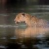 Se calcula que el 85 % de la población de jaguares vive en la Amazonía. Foto: Richard Barrett / WWF-UK