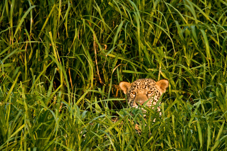 Un jaguar en la Amazonía de Brasil, el país con mayor población de esta especie. Foto: Christophe Courteau / WWF