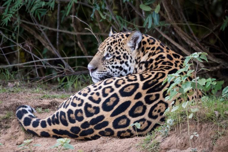 El jaguar ha sido un símbolo de poder en las culturas de América Latina. Foto: Richard Barrett / WWF-UK