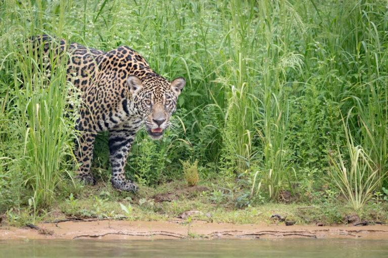 Se calcula que el 85% de la población de jaguares vive en la Amazonía. En esta foto, un jaguar en el Pantanal, en Brasil. Foto: Richard Barrett / WWF-UK