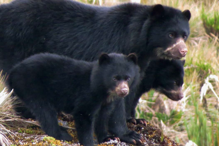 Familia de osos andinos. Foto: Parques Nacionales Naturales de Colombia y Procat.
