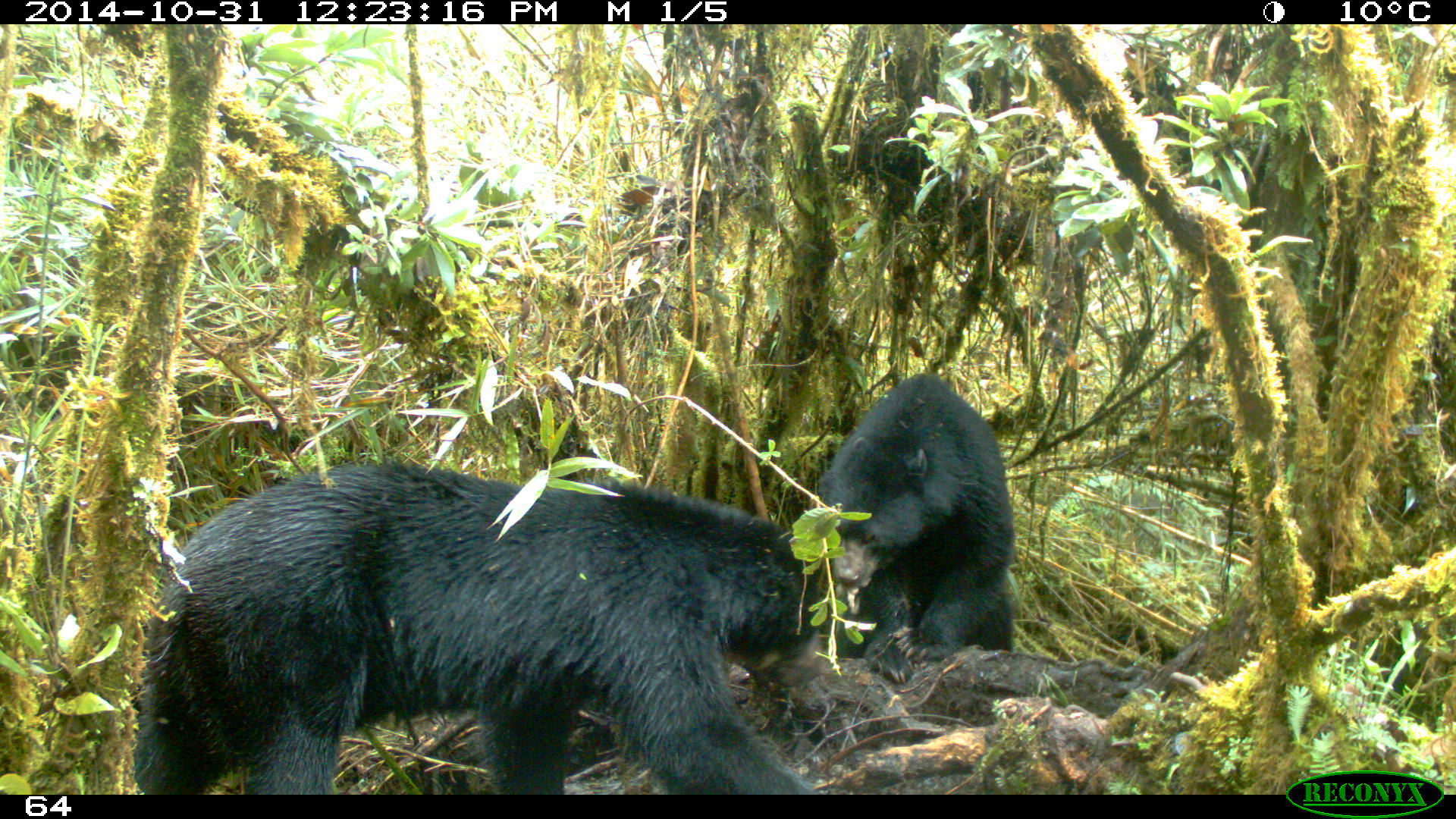 Osos andinos captados por cámara trampa en Parque Nacional Chingaza. Foto: Parques Nacionales Naturales e Colombia y Procat.