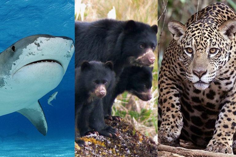 Foto: Tiburón tigre: ©JimAbernthy; Oso andino: Parques Nacionales Naturales de Colombia y Procat; jaguar: Wikimedia Commons.