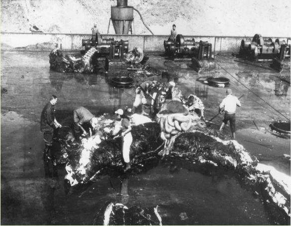 En la década de 1950, Obla Paliza investigaba a los cachalotes. Foto: Archivo Obla Paliza.