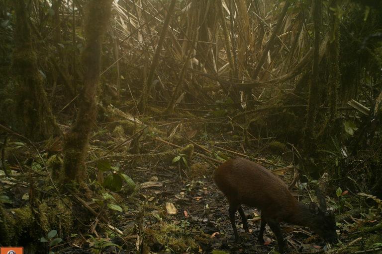 El venado es otro de los animales captados por cámara trampa en Boyacá. Foto: Corpoboyacá.