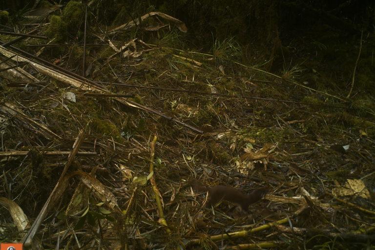 Comadreja (Mustela nivalis) captada por cámara trampa en Boyacá. Foto: Corpoboyacá.