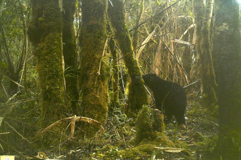 El oso andino ha sido visto en bajas alturas y en zonas de páramo del departamento de Boyacá. Foto: Corpoboyacá.