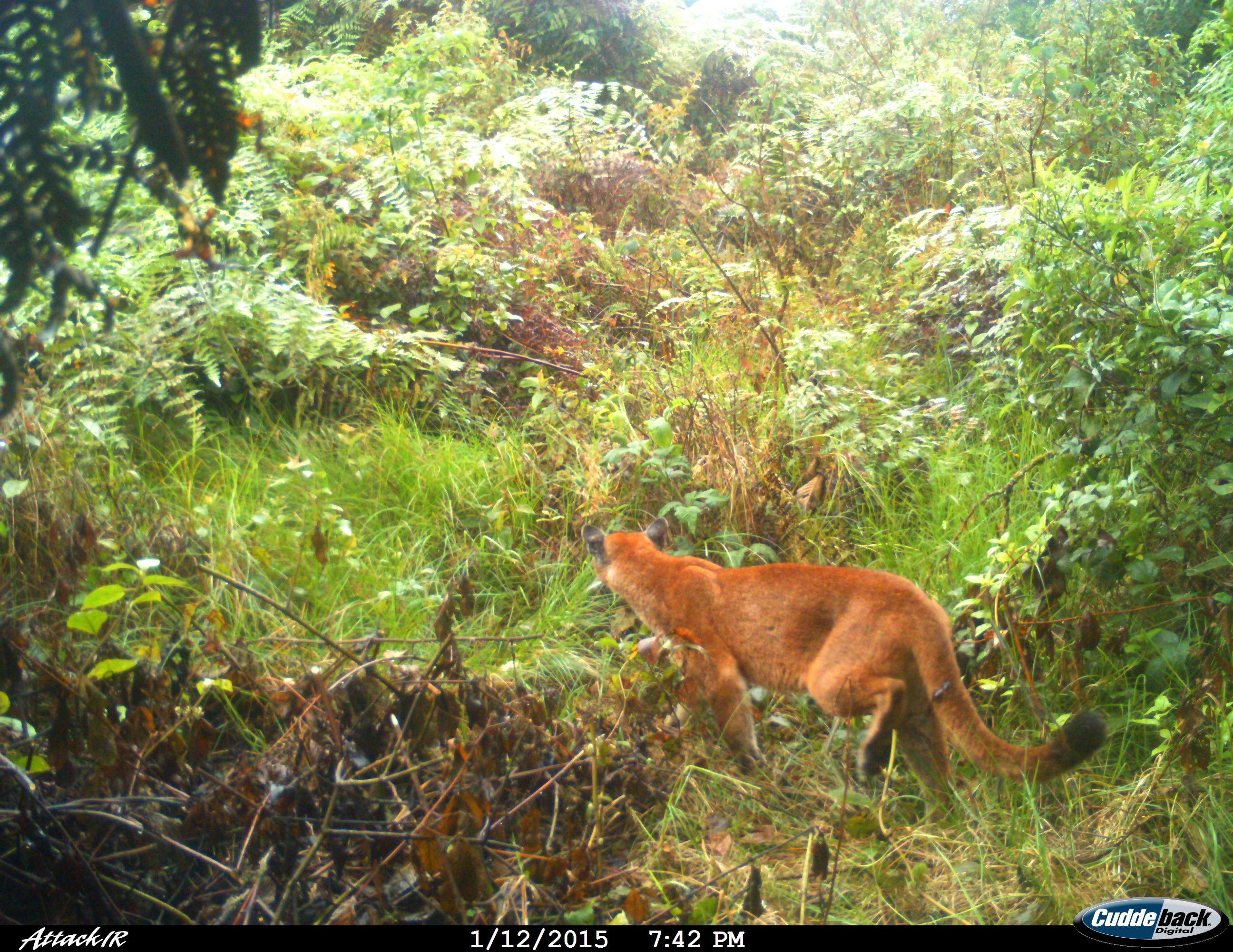 Puma captado en el Parque Natural Regional Corredor Biológico Guacharos Puracé. Foto: Corporación Autónoma Regional del Alto Magdalena (CAM).