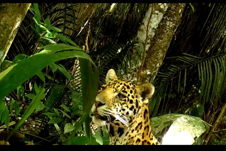 Correr ante la presencia de un jaguar es el peor error pues se dispara su instinto de caza. Foto: Cortolima.