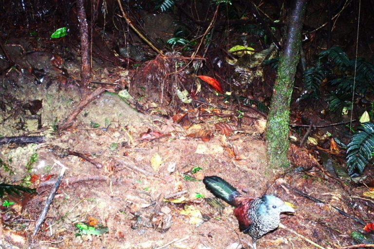 Cuco hormiguero escamado. Foto: CVC- Panthera.