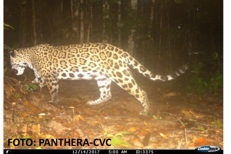 El departamento del Valle es el único de Colombia que cuenta con un programa para la protección de felinos, entre ellos el jaguar. Foto: CVC- Panthera.