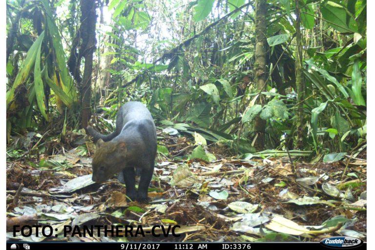 Yaguarundí en los bosques del Valle del Cauca. Foto: CVC- Panthera.