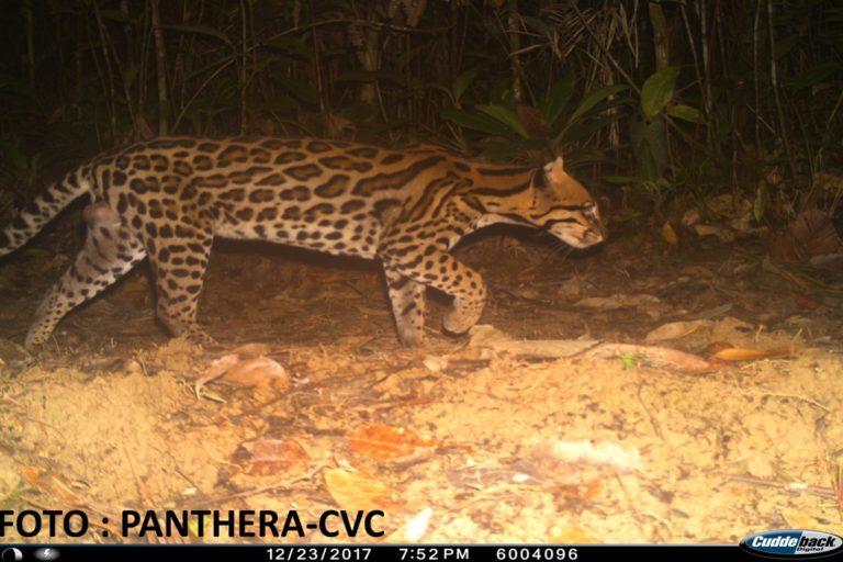 En búsqueda del jaguar, las cámaras trampa captaron continuamente al tigrillo y el ocelote. Foto: CVC- Panthera.