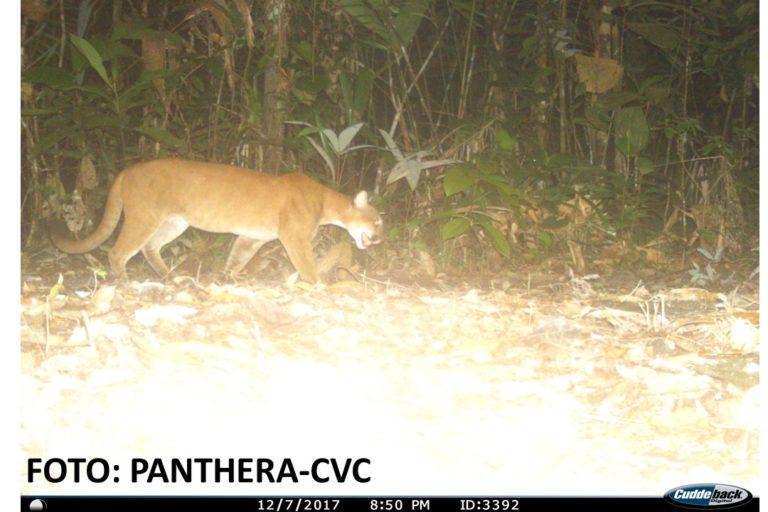 Puma en el Valle del Cauca. Foto: CVC- Panthera.