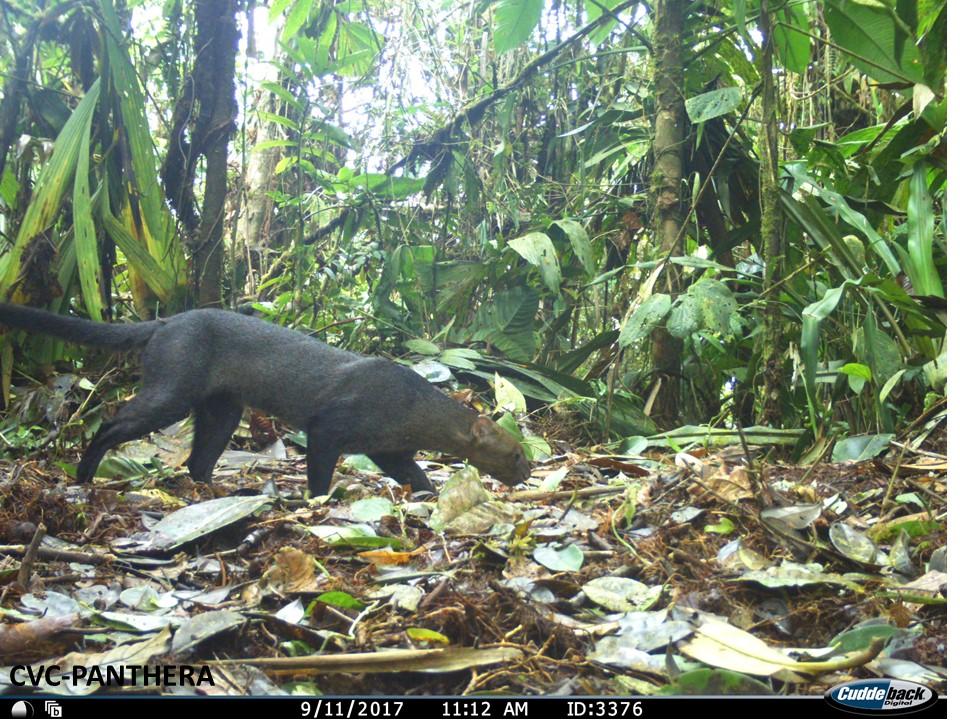 El jaguarundí también suele moverse entre los extensos cultivos de caña de azúcar del Valle del Cauca. Foto: CVC- Panthera.