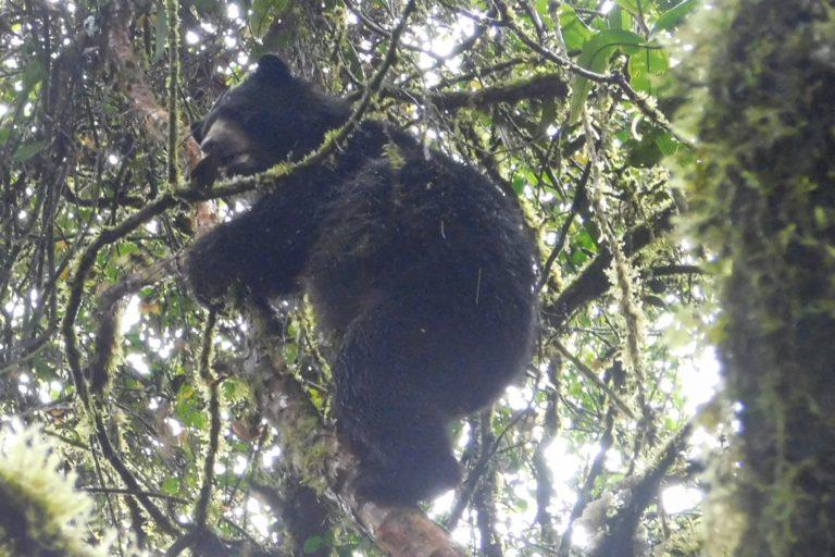 Un oso andino trepa a un árbol en el municipio de Santa Rosa, Cauca. Foto: Corporación Autónoma Regional del Cauca (CRC).