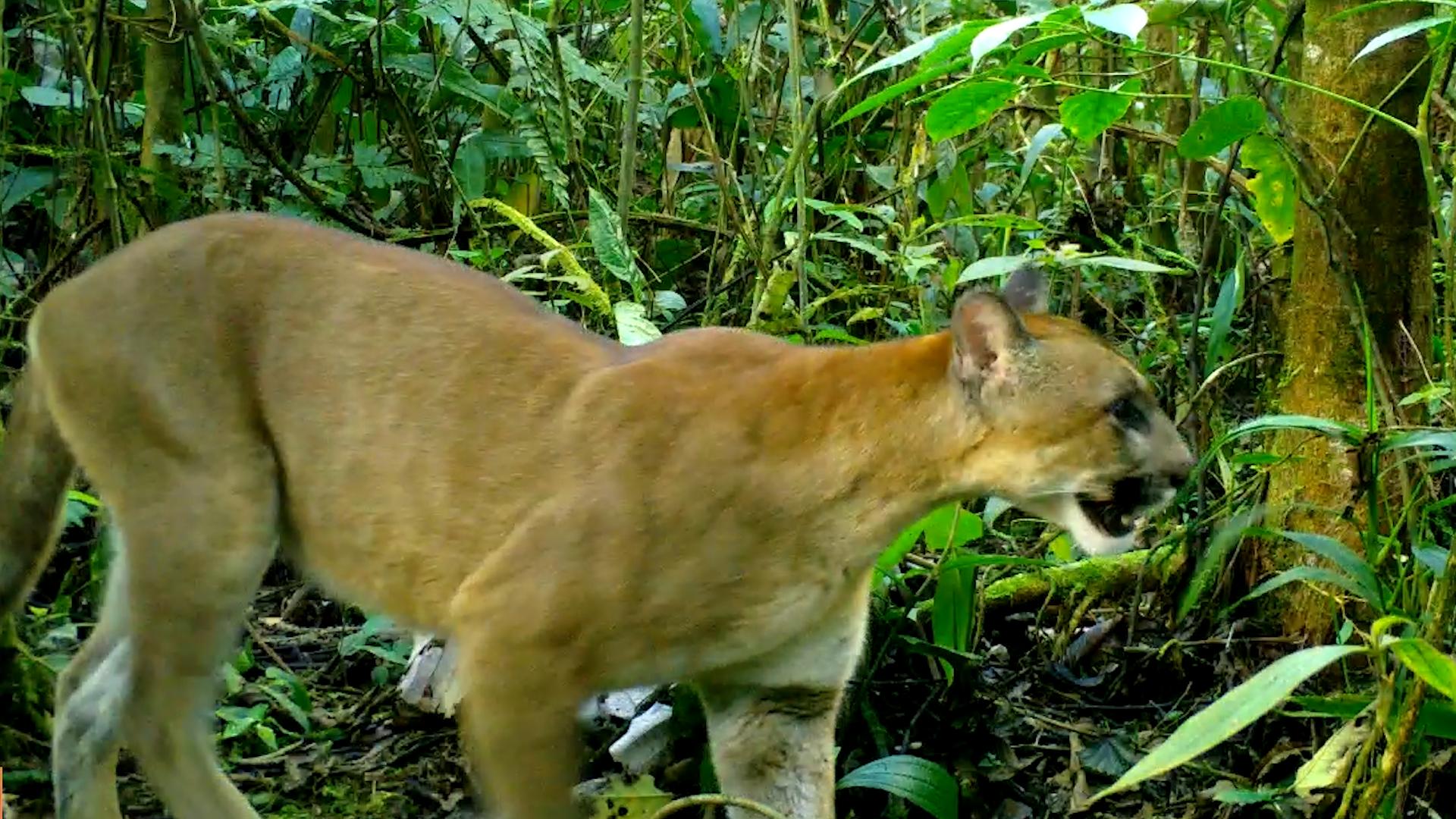 Puma en el municipio de Piamonte, Cauca. Foto: Corporación Autónoma Regional del Cauca (CRC).
