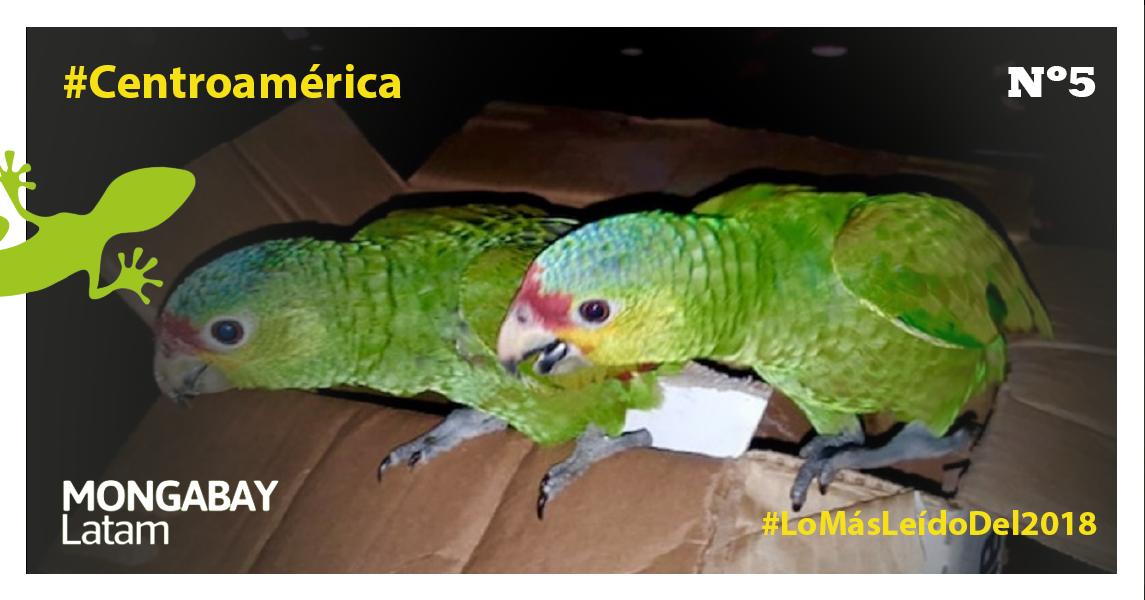 Loros hallados camuflados dentro de cajas de cartón que fueron incautados por las fuerzas del orden guatemaltecas. Foto: Cortesía Fiscalía Ambiental de Guatemala.