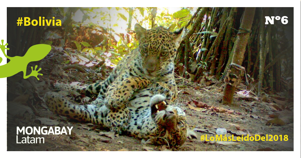 Jaguares (Panthera onca) jugando en Bolivia. Foto: Parque Kaa Iya.