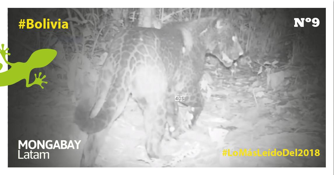 Jaguar negro o melánico. Foto: ACEAA