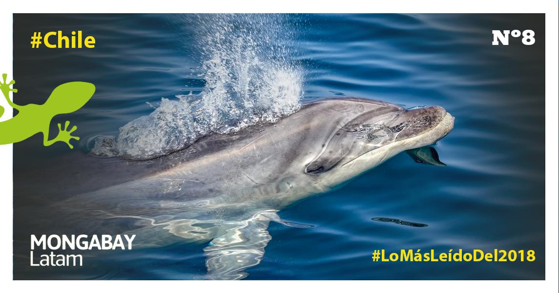 Un delfín nariz de botella en Chile. Foto portada: Guido Pavez / Eutropía