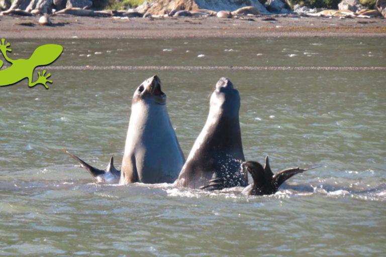 Elefantes marinos del sur, una de las especies emblemáticas del área marina protegida Seno Almirantazgo Foto: Claudia Silva / WCS
