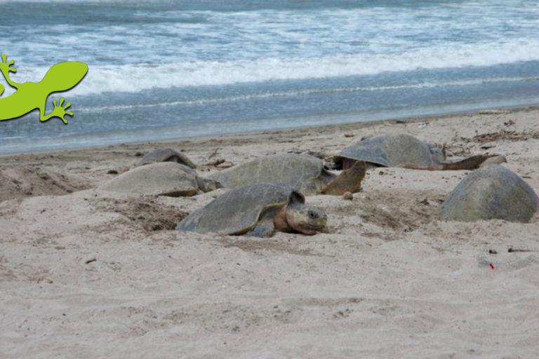 Arribo de tortugas en Refugio de Vida Silvestre La Flor-San Juan del Sur-Nicaragua. Foto: Paso Pacífico.
