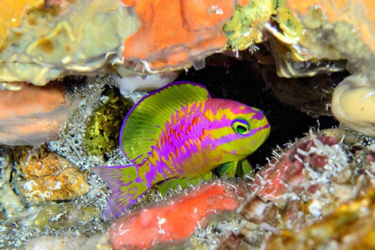 Tosanoides aphrodite. Imagen © Luiz Rocha/Academia de Ciencias de California