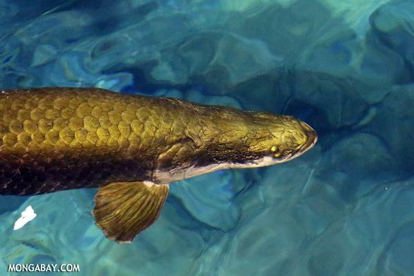 Animales más vistos del 2018: El arapaima (Arapaima gigas) es un gigantesco pez que habita los ríos amazónicos Foto: Mongabay animales más vistos del 2018