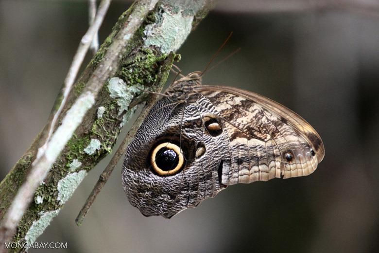 Animales más vistos del 2018: Una mariposa búho (Caligo eurilochus), cuyo hábitat abarca desde México a la Amazonía. Este especimen fue captado en Colombia Foto: Mongabay