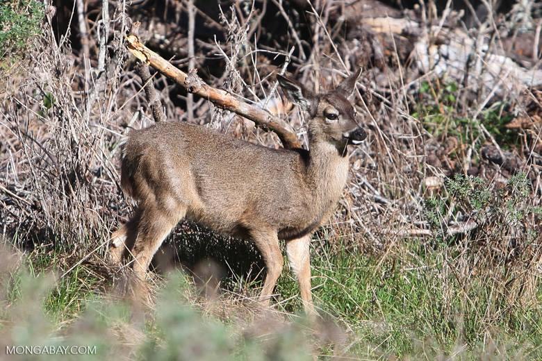 Animales más vistos del 2018: Un joven ciervo en Mendocino, California Estados Unidos Foto: Mongabay